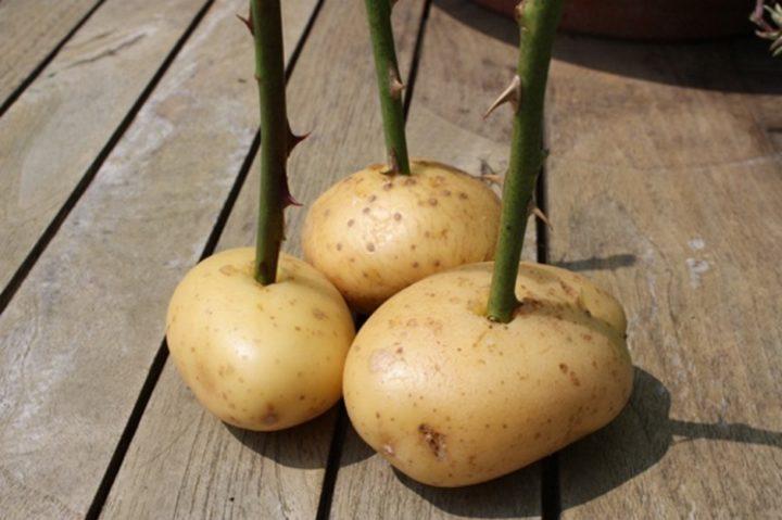 Выращивание в картофеле