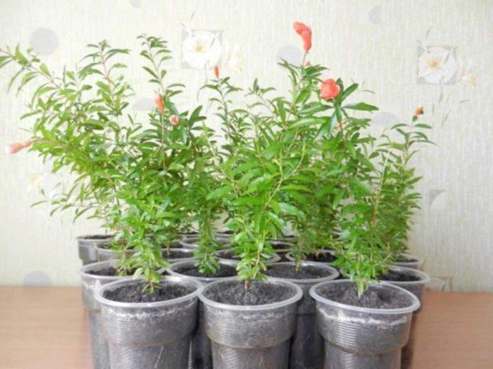 Выращивание граната дома