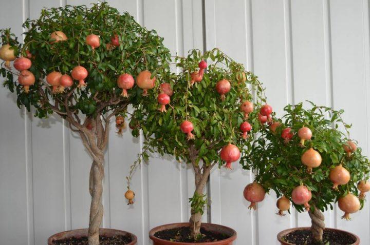 Гранатовые деревья в домашних условиях