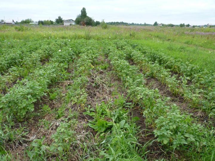 Для борьбы с проволочником на картофельном поле стоит посадить фасоль