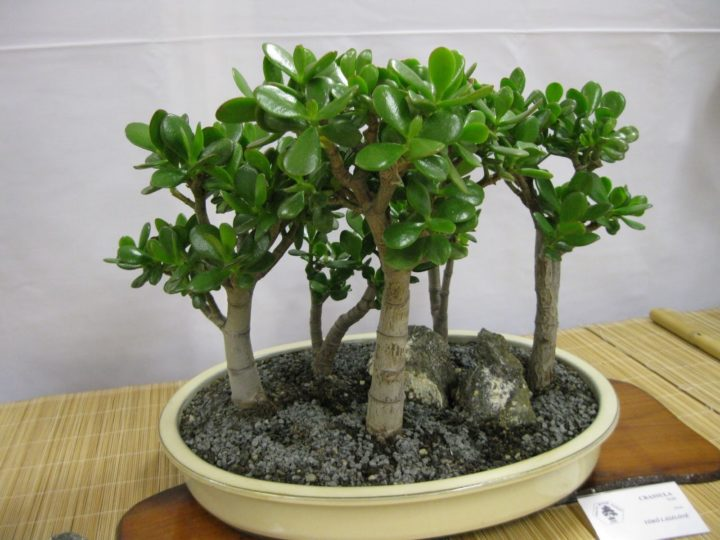 Денежное дерево (толстянка древовидная)