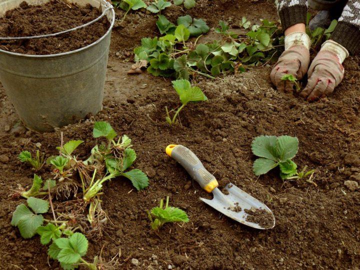 После посадки рассаду необходимо регулярно поливать