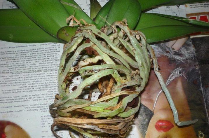 Орхидея к пересадке