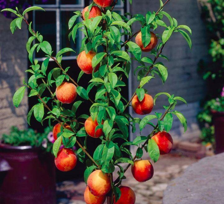 Как выращивать колоновидные плодовые деревья