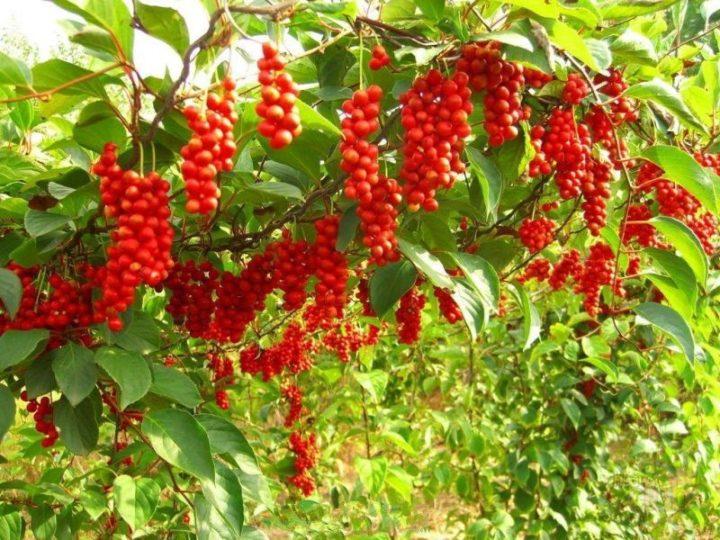 Полезные свойства растения китайский лимонник