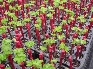 Как осуществляется размножение винограда осенью с помощью черенков