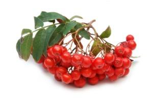 Рябина красная: основные полезные свойства и противопоказания