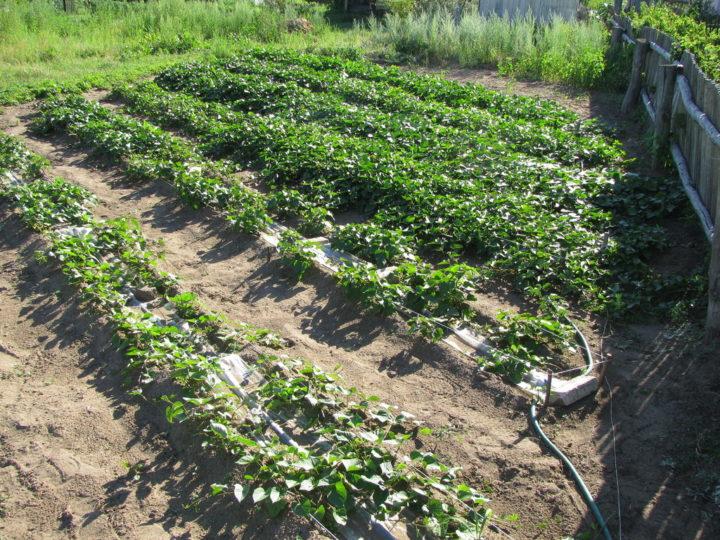 Урожайные грядки по методу Митлайдера