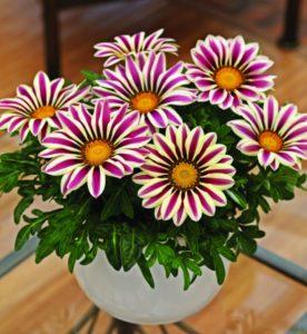 Цветок гацания: уход и выращивание из семян
