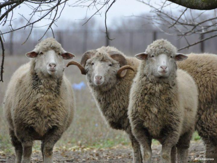 Цигайская пород овец