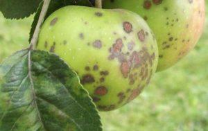 Метка борьба с паршой яблони