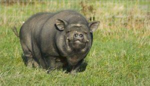 Особенности выращивания вислобрюхих вьетнамских свиней