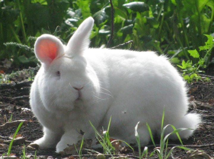 Новозеланский белый кролик