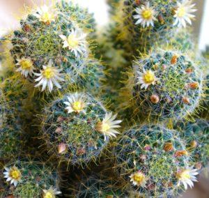Как часто надо поливать кактус