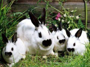 Какие прививки нужны кроликам и когда их делать