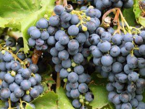 Как производится пересадка винограда