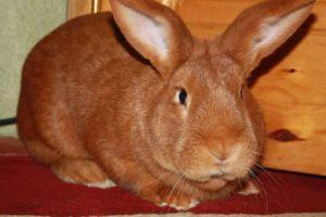 Породы и разведение кроликов мясного направления