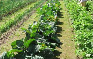 Делаем грядки по Митлайдеру своими руками: специфика выращивания овощей
