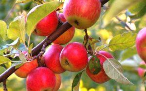 Как самому правильно посадить яблоню в саду