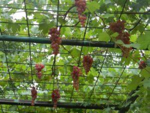 Лучшие неукрывные сорта винограда для средней полосы