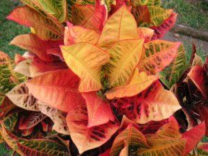 Что представляет собой цветок кодиеум?