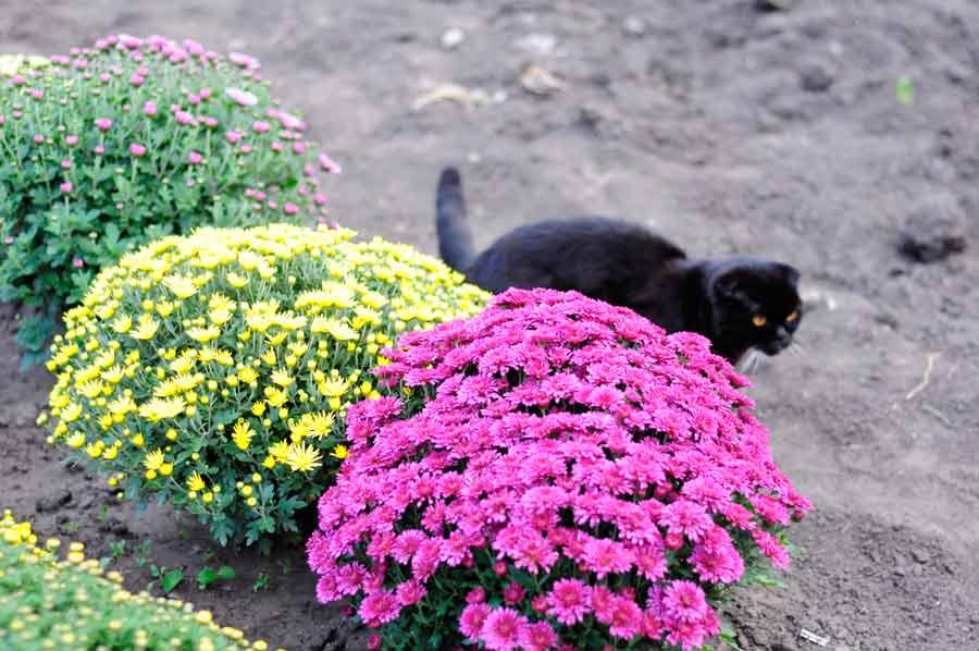Многоцветие хризантем