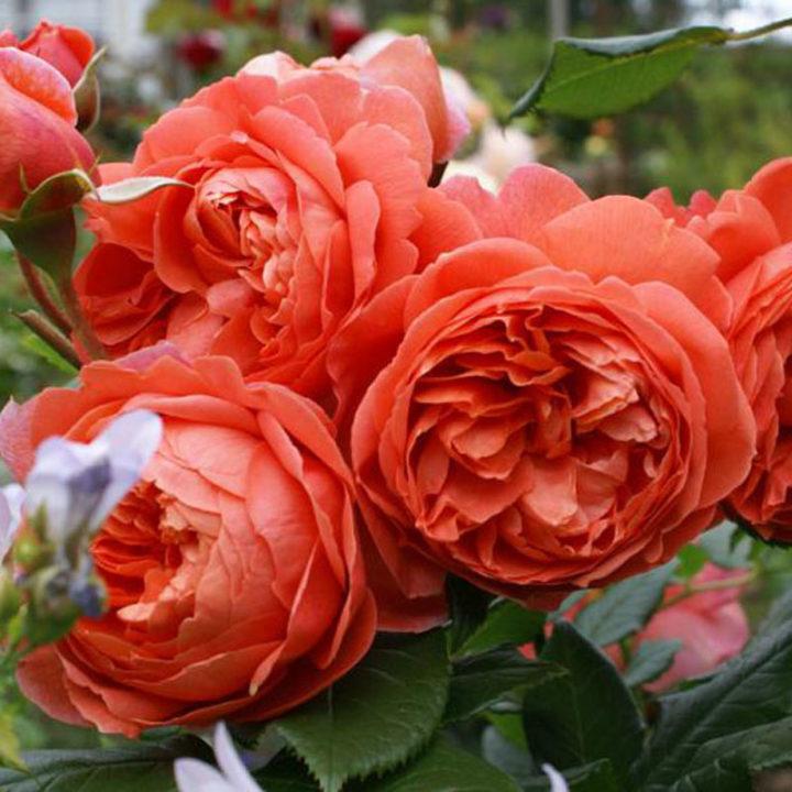 Роза Саммер Сонг