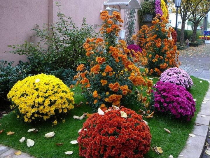 Садовые многолетние сорта кустовой хризантемы: выращивание и уход китайского сорта фото растений