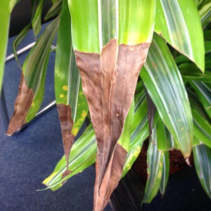 Когда сохнут кончики листьев