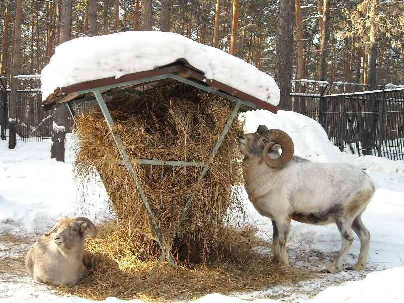 Кормление баранов зимой