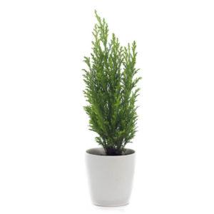 Кипарис комнатный: выращивание и уход в домашних условиях