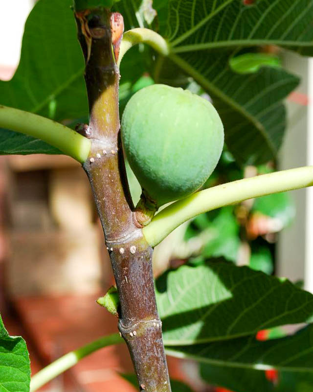 Плод без цветка