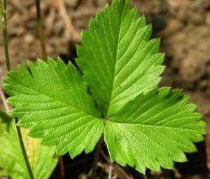 Лечебные свойства и противопоказания для применения листьев земляники
