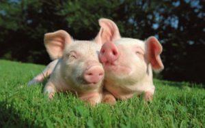 Технология откорма свиней для начинающих