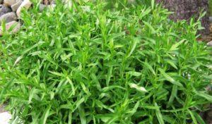 Трава тархун: лечебные свойства и противопоказания