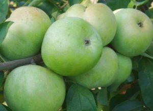 Сорт яблок Семеренко: характеристика и особенности ухода