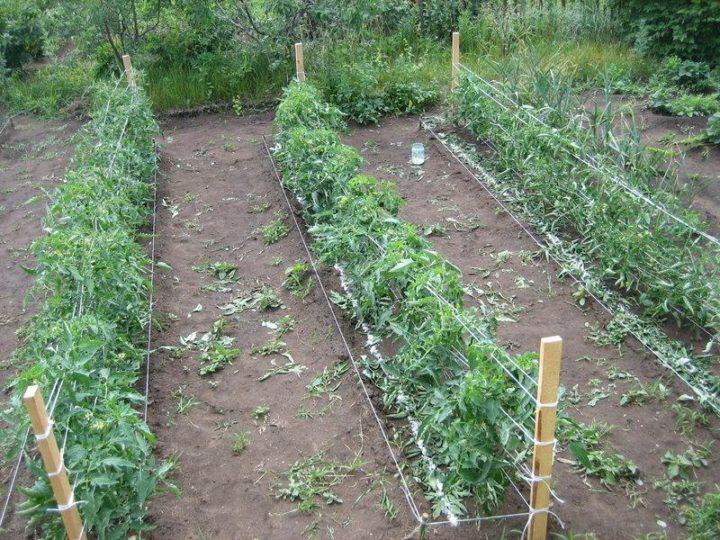 Выращивание помидор на грядках по методу Митлайдера