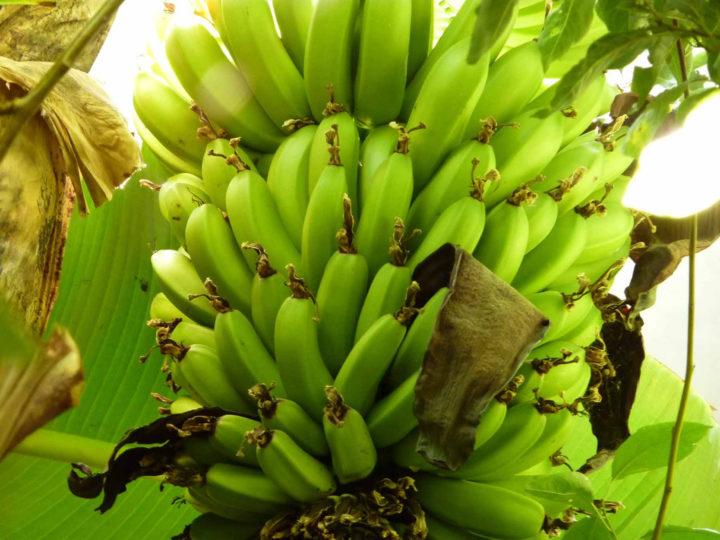 Выращивание бананов на Тенерифе