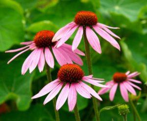 Эхинацея: как вырастить цветок в своем саду
