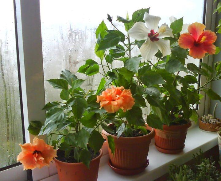 Свет, полив и подкормка для цветения гибискуса