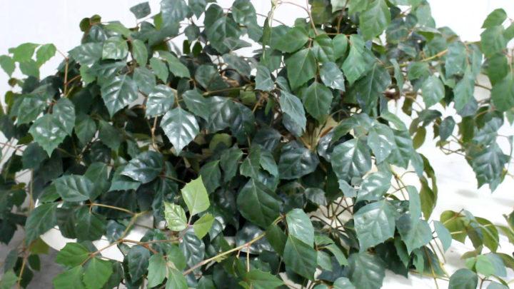 Березка - роициссус ромбический