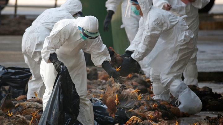 Уничтожение птицы, ставшей жертвой птичьего гриппа