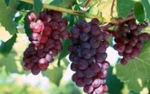 Как правильно производится обрезка винограда весной