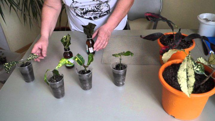 Размножение черенкованием