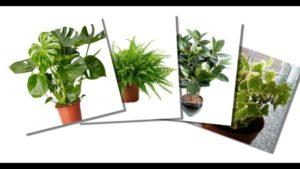 Популярные комнатные растения, приносящие в дом несчастье