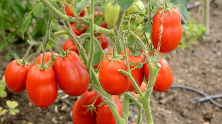 Высокая урожайность за счет большого количества плодов на кусте
