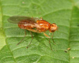 Морковная муха: как с ней можно бороться