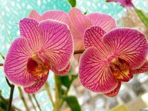 Сколько по времени цветет орхидея в домашних условиях