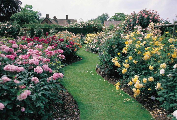 Розы Остина в ландшафтном дизайне