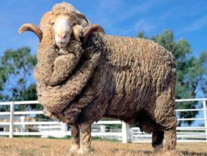 Нюансы разведения овец в домашних условиях для начинающих
